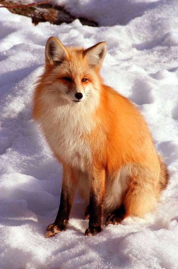 Lis rudy w śnieżnym krajobrazie - Lis rudy to gatunek wywodzący się z Eurazji, powszechnie występujący na terenach o dość chłodnym klimacie. Zimą futro lisów staje się gęstsze i dłuższe niż w ciepłych porach roku. Są t (5×7)