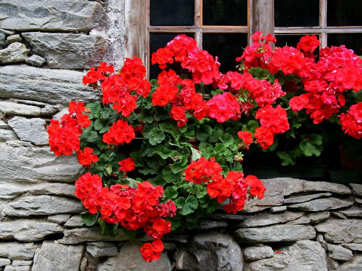 Kwiaty na oknie domu w Wallis (Szwajcaria) -  (12×9)