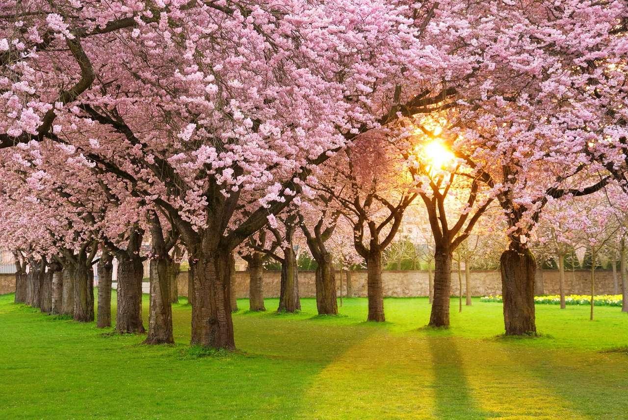 Sad kwitnących wiśni - Drzewa wiśniowe są znane przede wszystkim ze względu na owoce, które wydają. Jednak wiśnie rosną nie tylko jako rośliny uprawne. Piękne kwiaty, które kwitną na wiśni, oraz ich piękny zapa (8×6)