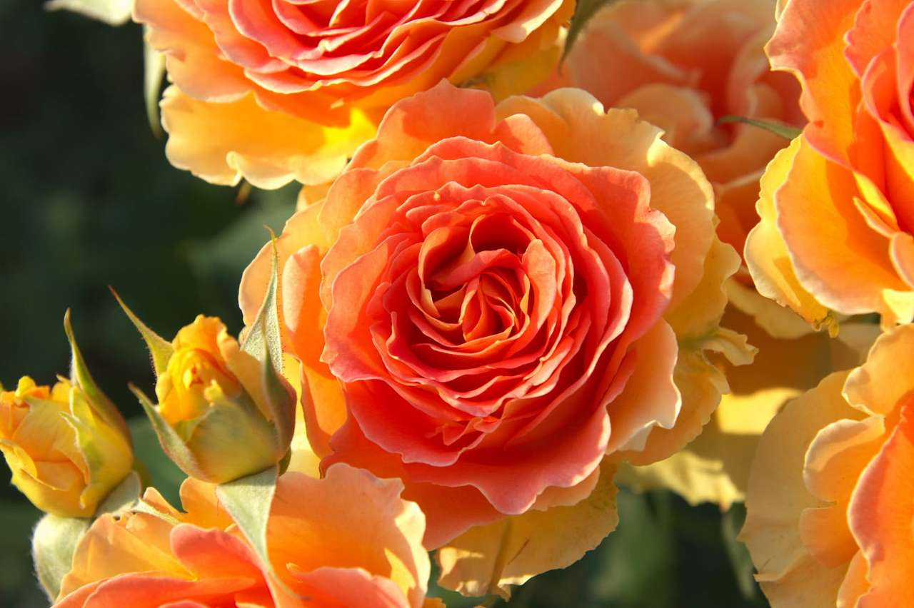 Herbaciane róże - Od czasów starożytnych róże uważane są za najpiękniejsze kwiaty na świecie. Ze względu na istnienie wielu gatunków i sposobów hodowli, występują w wielu kolorach i rozmiarach, a nawet o r (8×6)