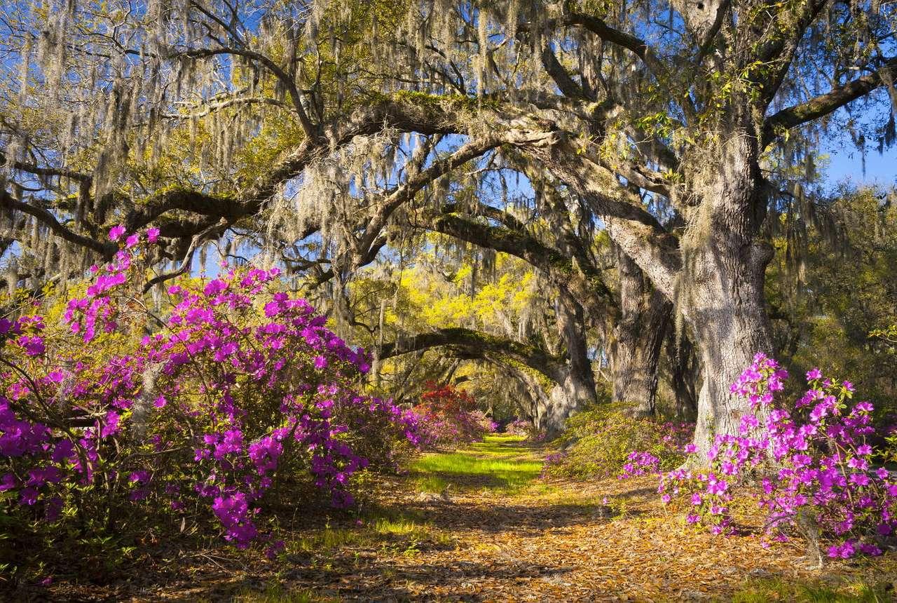 Dęby z Charleston (USA) - Charleston to miasto w Karolinie Południowej. Nieopodal znajduje się wyspa Johns Island, na której rośnie bardzo stary, co najmniej 400-letni dąb zwany Angel Oak, największa atrakcja turystyczna (13×9)