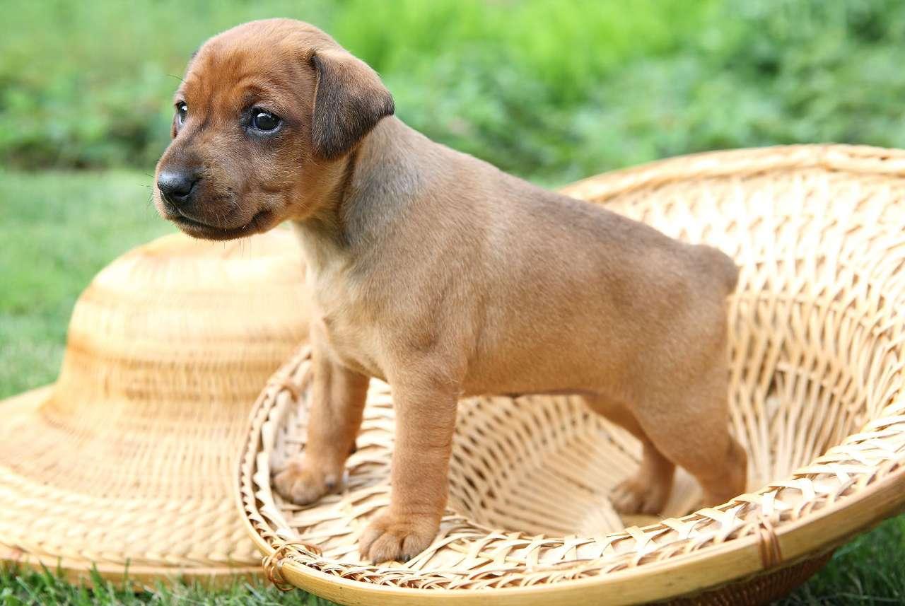 Szczeniak pinczera miniaturowego - Pinczer to rasa pochodząca z Niemiec (Zwergpinscher), do której należą psy cechujące się inteligencją, będące wiernymi towarzyszami człowieka. Jej miniaturowa odmiana wyróżnia się budową (8×6)