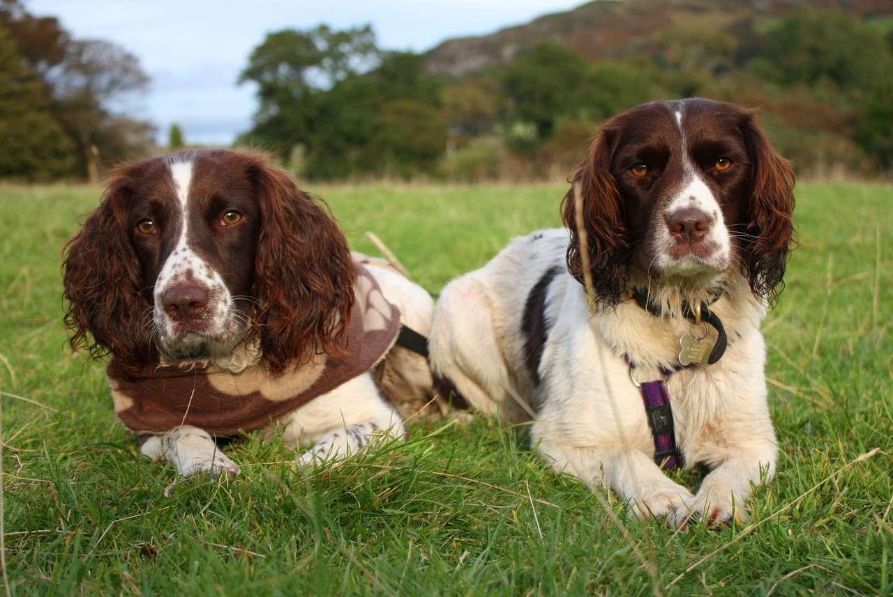 Dwa springer spaniele leżące w trawie - Springer spaniel angielski należy do psów myśliwskich i zaliczany jest do najstarszych ras ze wszystkich spanieli.  Angielscy lordowie wykorzystywali spaniele do polowań już od ponad 500 lat, ale (8×5)