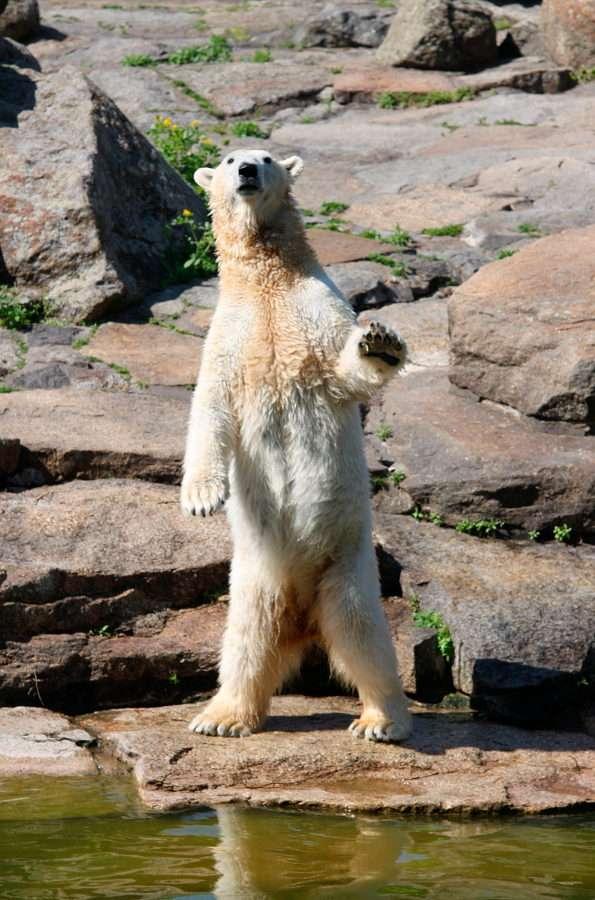 Nancy, miś polarny z berlińskiego zoo - Nancy to niedźwiedzica polarna mieszkająca w berlińskim zoo. Urodziła się w 1989 roku w Karlsruhe. Od 1991 roku mieszka w Berlinie. Przez pewien czas żyła razem ze znanym misiem Knutem, któreg (7×10)