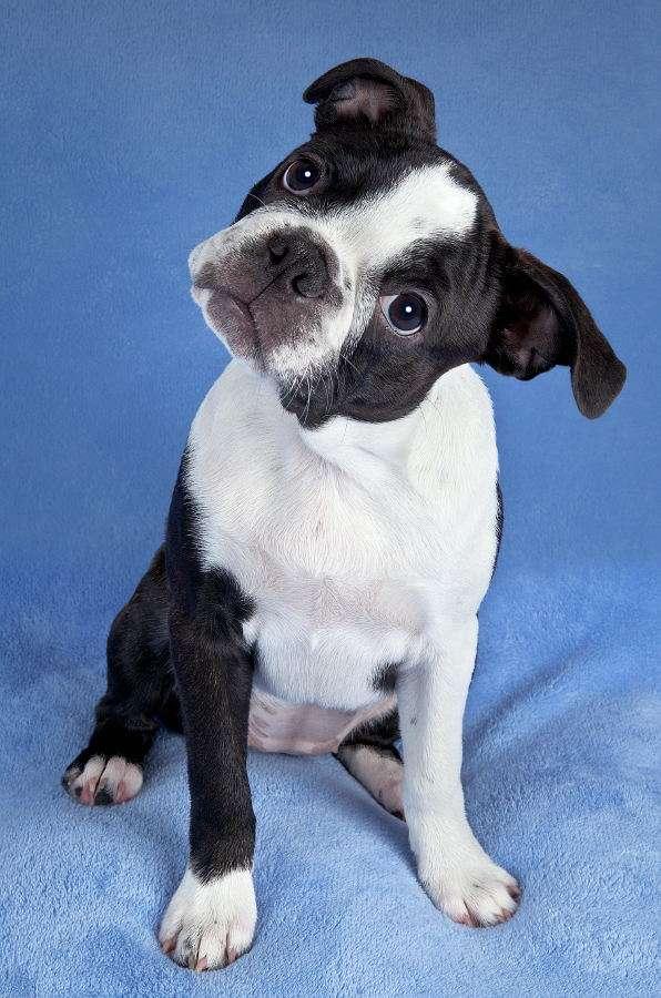 Szczenię boston terriera - Boston terrier został wyhodowany w połowie XIX w. w Stanach Zjednoczonych przez robotników, krzyżujących różne rasy w celu uzyskania jak najlepszego psa bojowego. Rasa ta powstała w wyniku skr (4×5)