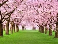 Kwitnące na różowo drzewa wiśniowe