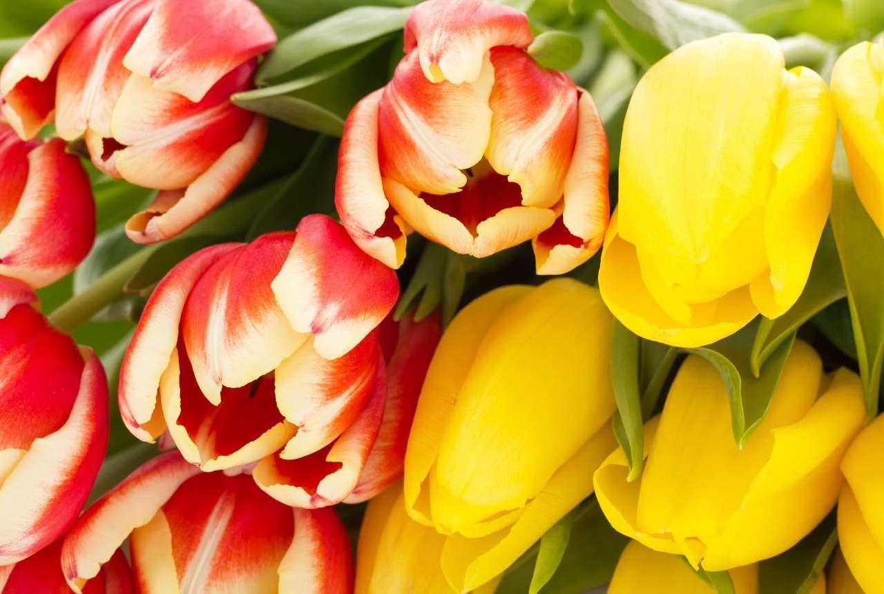 Biało-czerwone i żółte tulipany - Tulipany, tak popularne na terenie całej Europy, pochodzą z Azji, a na Starym Kontynencie pojawiły się dopiero pod koniec XVI w. Przybyły tu na statkach kupieckich przez port w Antwerpii i bardzo (13×9)