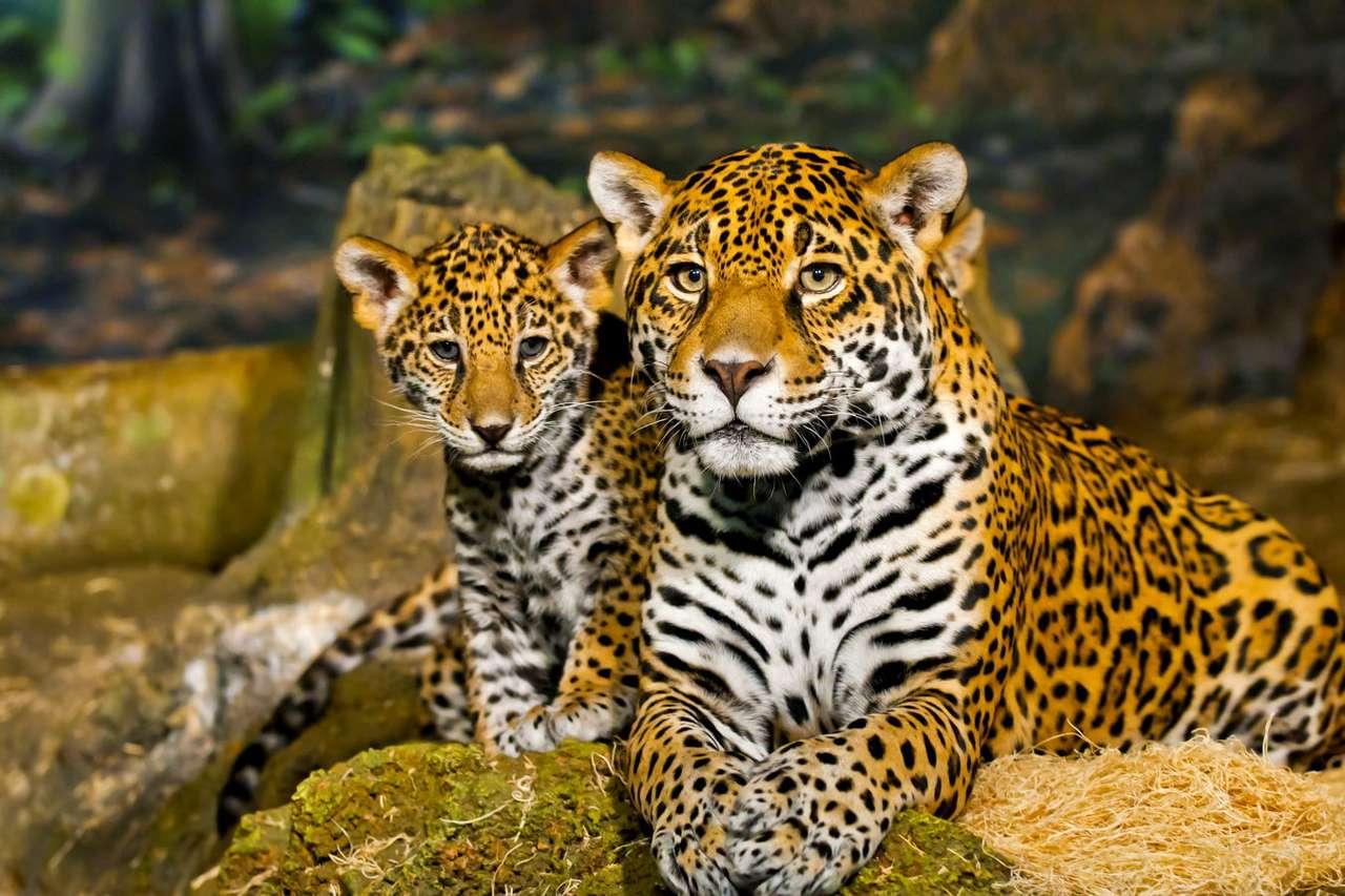 Młody jaguar z matką - Piękny i dostojnie prezentujący się jaguar może stanowić obiekt podziwu, należy jednak pamiętać, że jest to niebezpieczny drapieżnik. Należy do rodziny kotów i jest trzecim co do wielkośc (7×5)