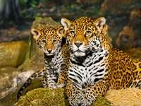 Młody jaguar z matką