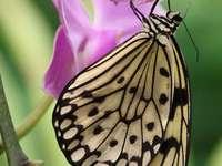 Motyl Idea leuconoe
