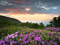 Kwitnące rododendrony u podnóża Appalachów (USA)
