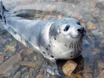 Młoda foka w zatoce Kandałaksza (Rosja)