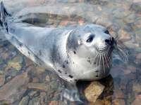 Młoda foka w zatoce Kandałaksza (Rosja) puzzle