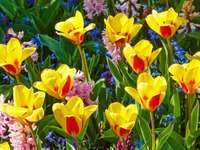 Żółto-czerwone tulipany i hiacynty