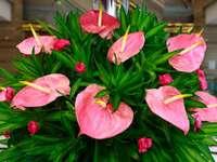 Bukiet z kwiatów anturium