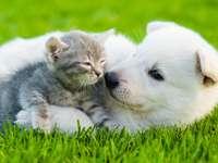 Owczarek szwajcarski z małym kotem