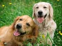 Psy na łące