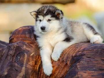 Szczenię rasy Alaskan malamute