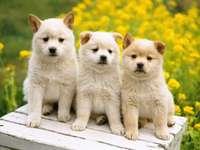 Trzy szczeniaki