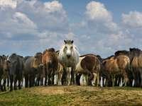 Stado koni