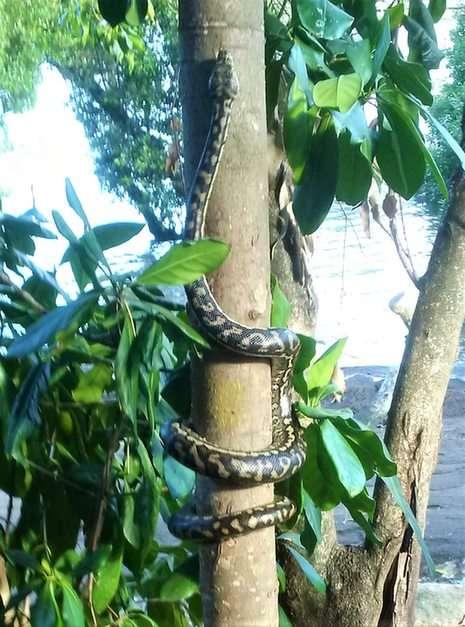 Wąż dywanowy