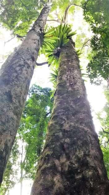 Giganci z lasu deszczowego