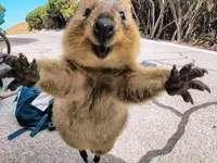 quokka - australijskie zwierzę