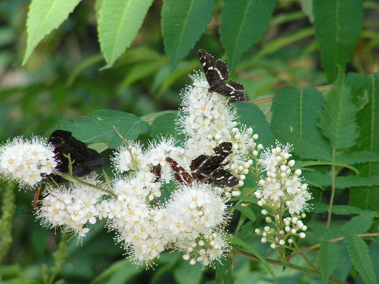 Motylki w lipcu