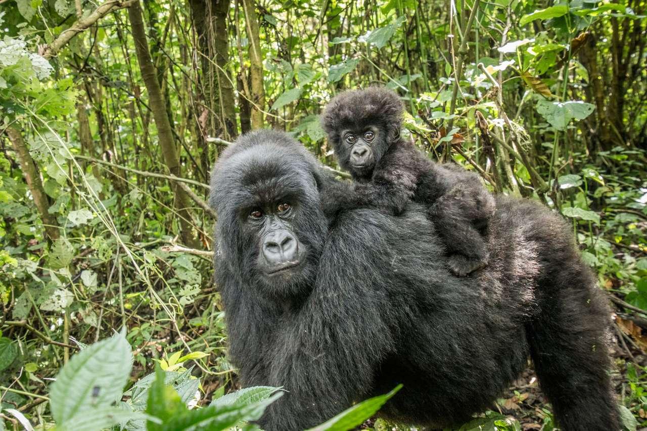 Górskie goryle