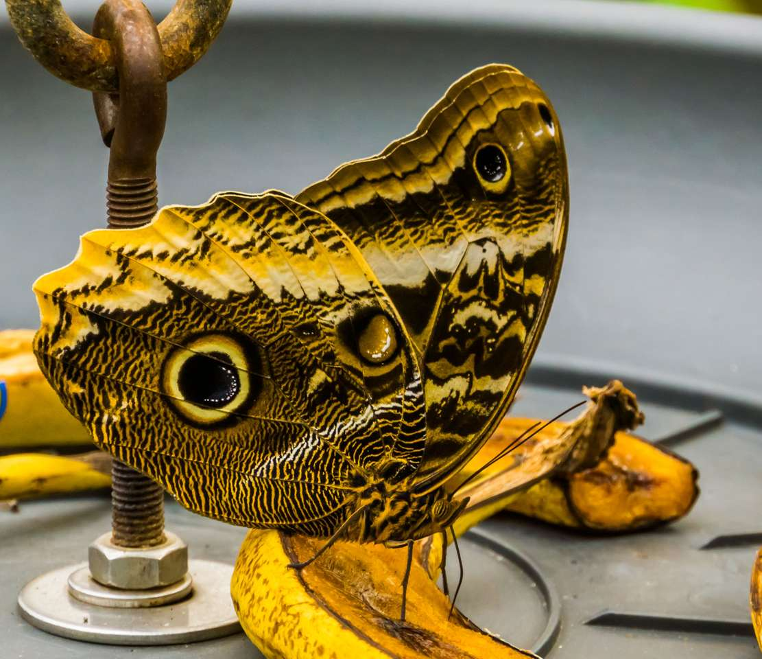 Motyl na bananie puzzle