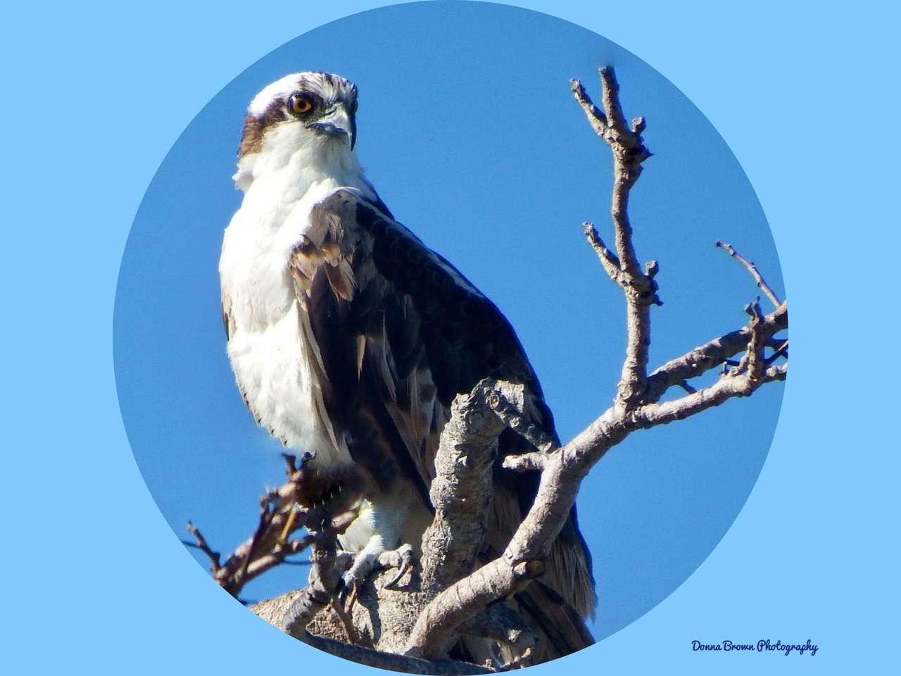Osprey na Florydzie.