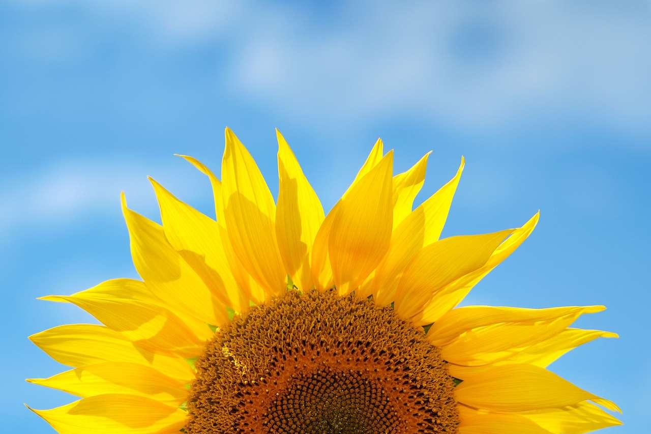 Słonecznik na tle nieba