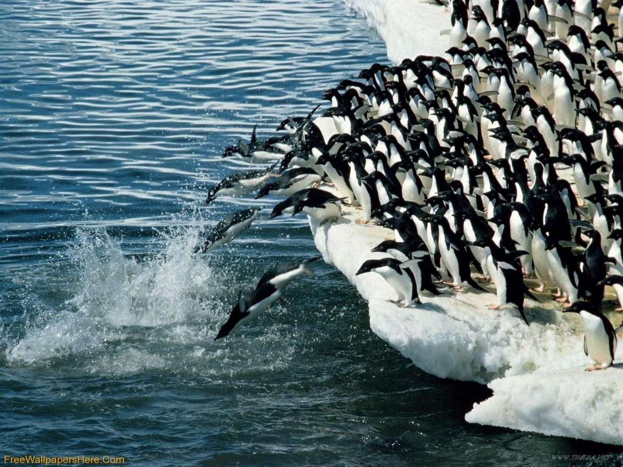 Penguins swim puzzle ze zdjęcia
