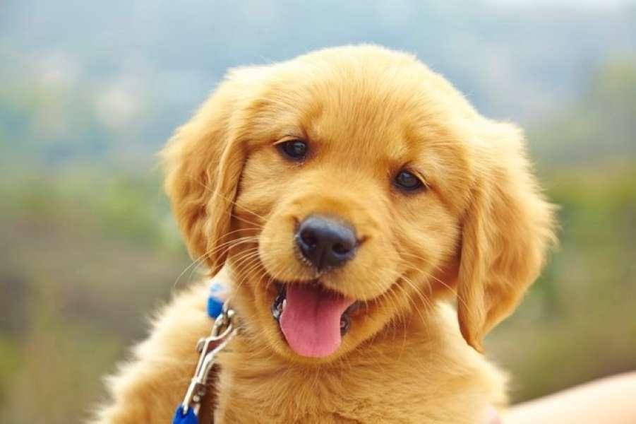 Walia Puppy.