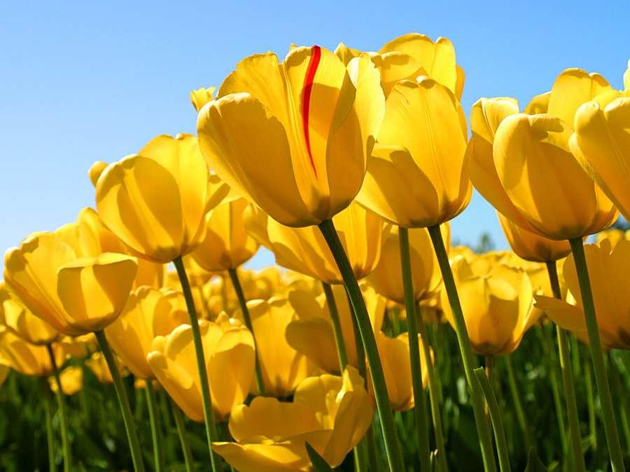Żółta łamigłówka tulipana