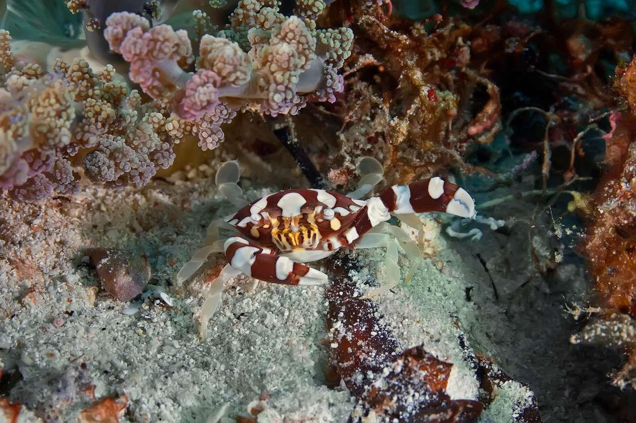 Portunidae Crab Hides puzzle online