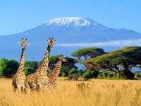 Kilimangirafki.