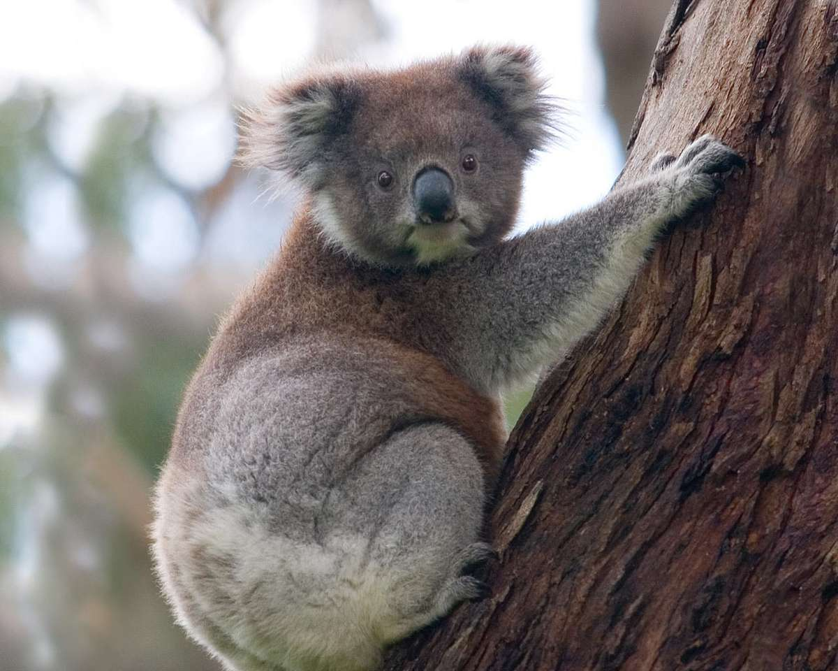 Its Koala