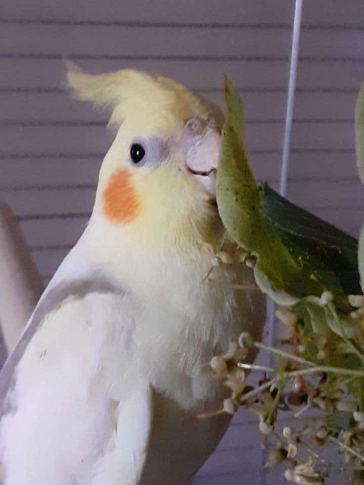 Felek Papug