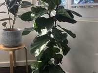 Fabe Found Leaf Plant.