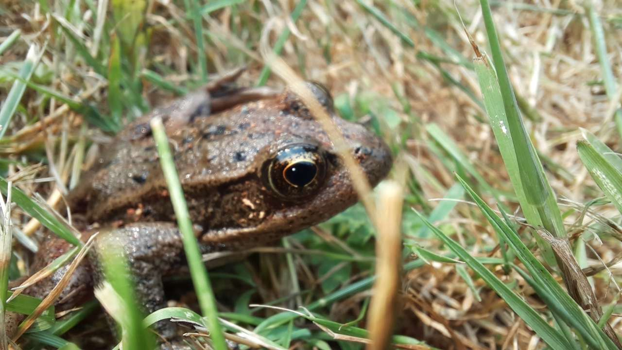 Pepe żaba puzzle