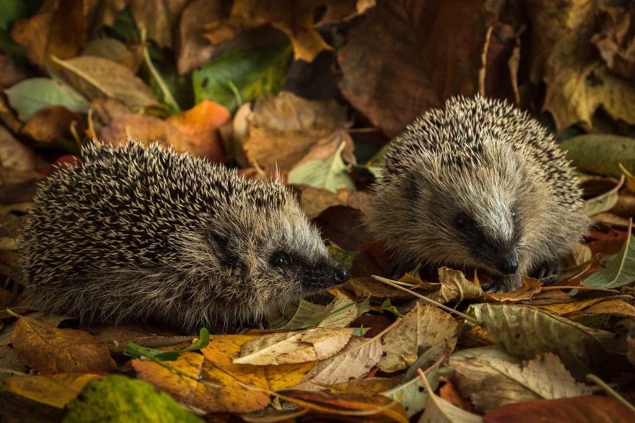 Dwa młode jeże w jesiennych liściach