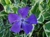 Fioletowy kwiat Barwinek