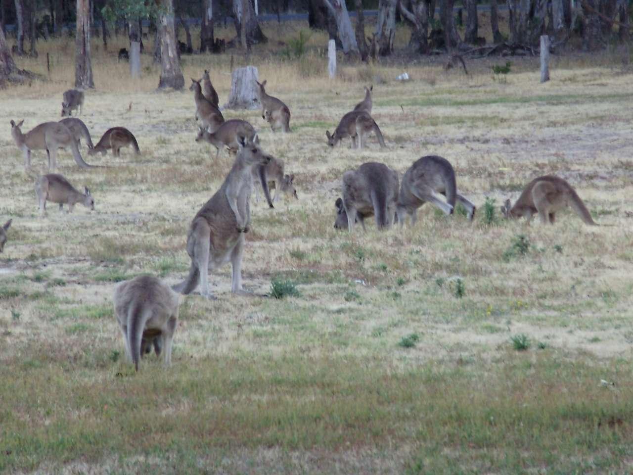Wypas kangurów